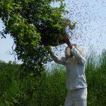 Как использовать пчелам щавелевую кислоту